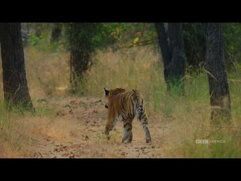 Watch Tiger Vs Peacock Dynasties Saturday At 9pm Bbc America Bbc America Bbc America