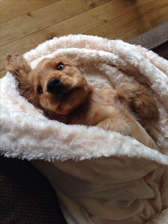 Cute golden cocker spaniel puppy