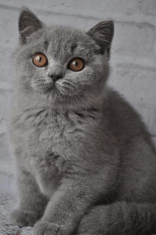 Pin By Elise Ehrlich On British Cats Cute Cats And Dogs Beautiful Cats British Shorthair Kittens