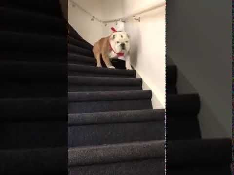 The Cutest Bulldog Coming Down The Stairs In Style Cute Bulldogs