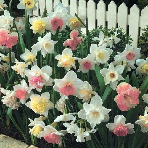 Pink/Yellow Daffodil Mix