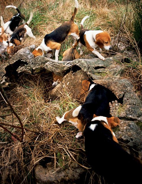 Ahh Beagles Is There Anything Neater Than Watching A Pack Like