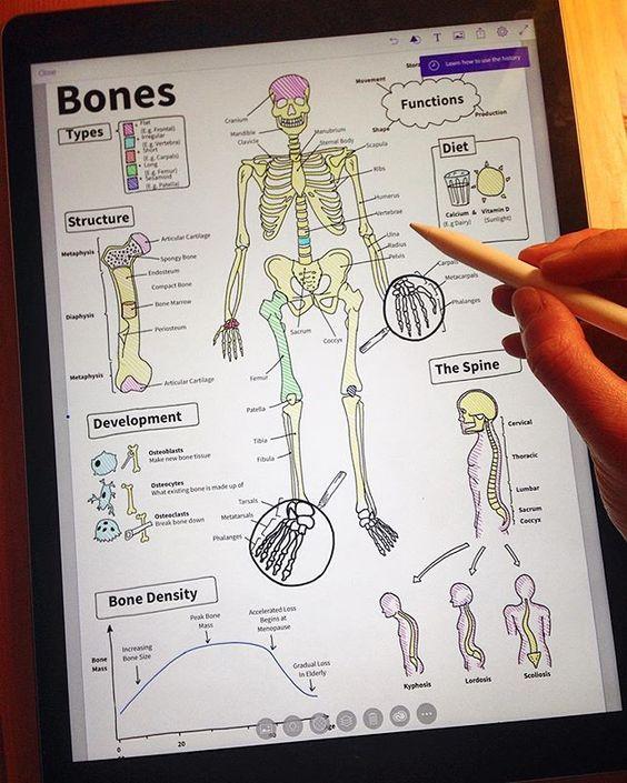 Adding the final labels to my piece on the basic anatomy of the human skeleton! Bones bones bones #ipadpro #ipadprodrawing #applepencil #procreate #medicina #studyingmedicine #futuredoctor #medicalschool #medicalstudent #anatomy #skeleton #bones