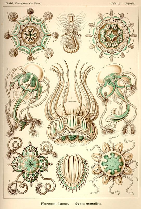 "Plate 16 'Narcomedusae' from ""Kunstformen der Natur"" (1899-1904) by German naturalist & artist Ernst Haeckel (1834-1919). via caliban"