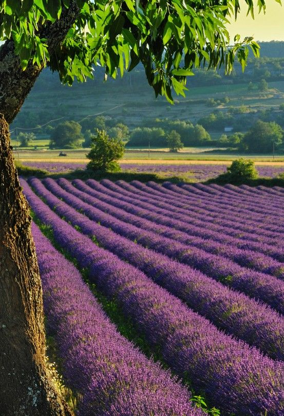 The Lavender Fields in the South of France. The blooms will be fully developed by the first of June.