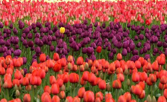 Cómo cuidar tulipanes - 7 pasos - unComo