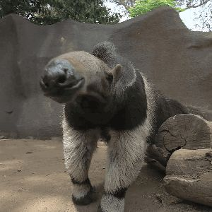 The giant anteater's sense of smell is 40x more powerful than ours.