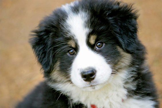 Berner Sennenhund, i will have one of this cute little dogs!