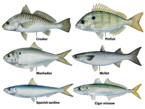 bait fish   fishing on kayaks <°))))><    pinterest   fish and bait, Soft Baits