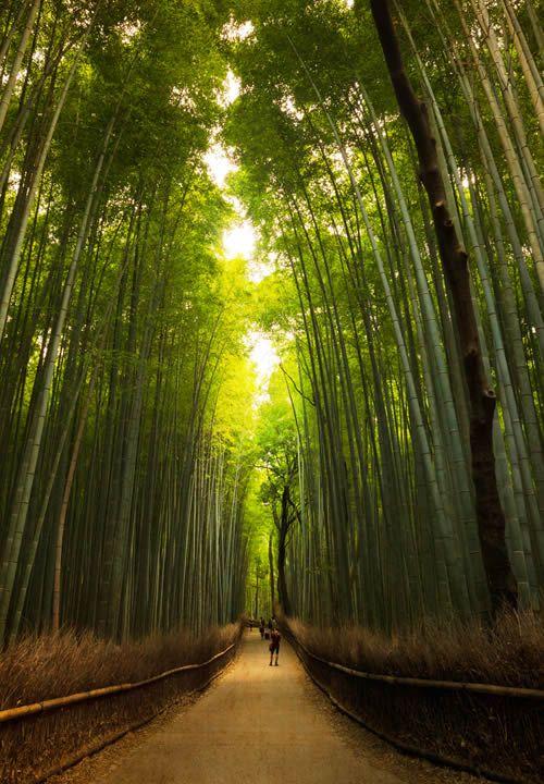 Bambúes, Arashiyama, cerca de Kioto, Japón.