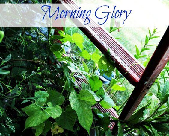 Morning Glory around Garden Ladder ~ Cupcakes and Crinoline