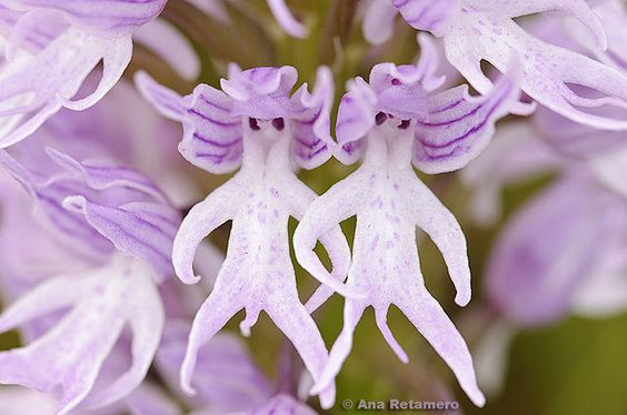 """Orchis italica, also known by the English name """"naked man orchid"""" - tee hee!!!"""