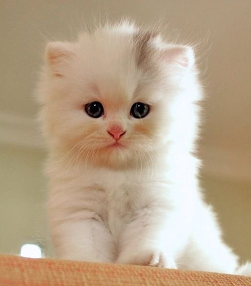 PLEASE someone get me one of these kitties for my next birhday!!! or tomorrow!! Teacup persian...only about a grand.:
