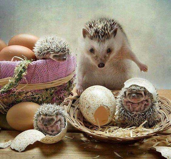 Hedgehogs: