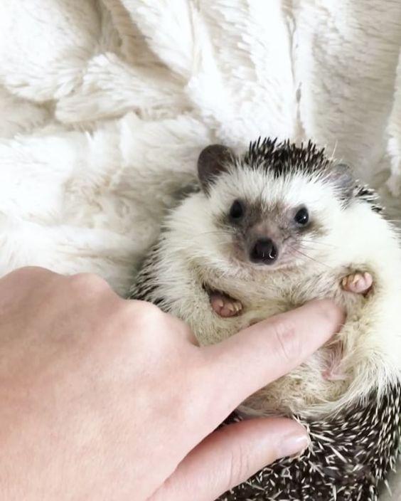 "17.8 tis. To se mi líbí, 491 komentářů – Mr.Pokee the Hedgehog (@mr.pokee) na Instagramu: ""how to un-grumpy pokee  #magictrick"""