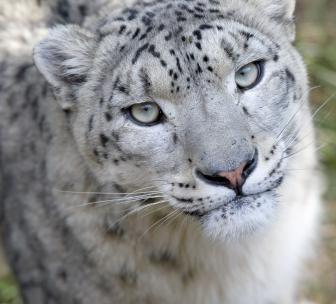 Zoo et parc de Thoiry    Panthère des neiges