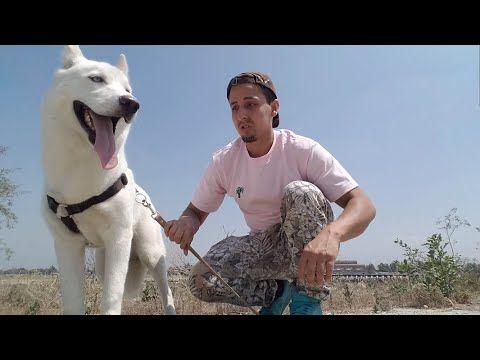 My Dog Killed A Duck Youtube Dogs Dog Training Videos Husky