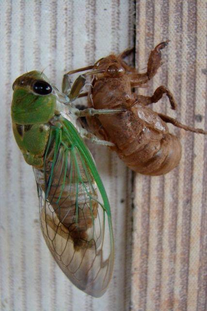 Locust Bug Bite