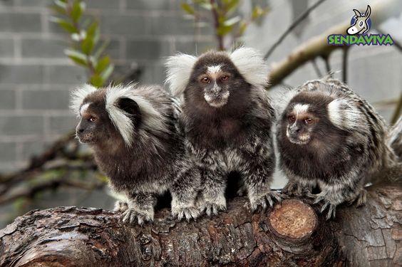 Podrás conocer a los monos titis en la nueva Plaza de los Exóticos.