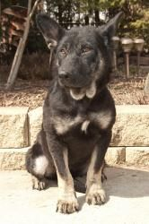 Tory is an adoptable German Shepherd Dog Dog in Mishawaka, IN. Tory was found in a field by a volunteer as a very young puppy. She had mange so badly that she could barely open her eyes. After a lot o...