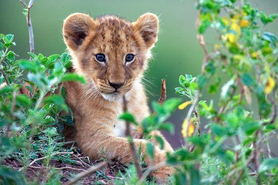 MARA ist ein neugieriges, sechs Monate altes Löwenjunges und liebt ihre Mama Layla über alles. Im Reich der Raubkatzen   Jetzt auf Blu-ray und DVD I #DisneyNature ©Disney