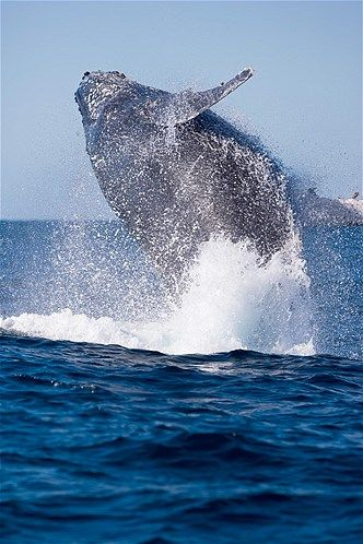 Southern humpback whale