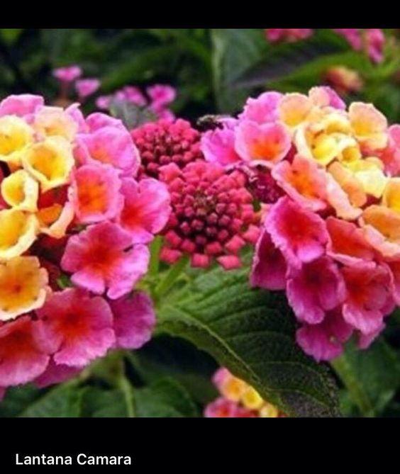 ดอกผกากรอง