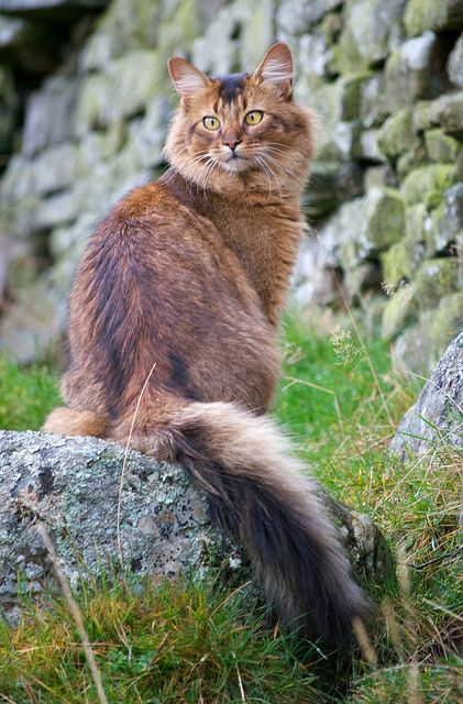 Somali - Though its name would indicate an origin in Somalia, this breed first appeared in the United States. However, it was named Somali because it derived from an Abyssinian. Despite its medium-length coat, it does not tolerate the cold.
