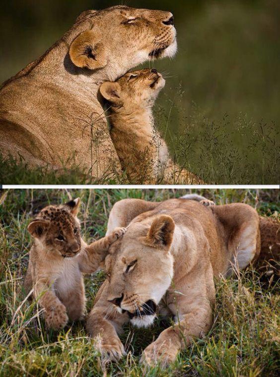 Lion family.