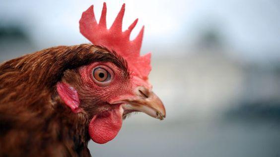 La poule, nouvelle star du recyclage ! Les poules sont très friandes de restes: épluchures de fruits et légumes, salades, pain dur, croûtes de fromage, coquilles d'œufs et d'huîtres broyées, etc. Elles peuvent avaler jusqu'à 150 kilos de restes par an, et l'Ademe parie sur le fait, qu'à terme, elles pourront alléger la production de déchets des Français, chacun produisant en effet 360 kilos d'ordures tous les ans.