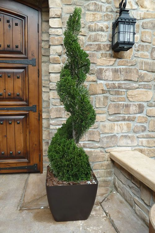 Buy Emerald Green Arborvitae Spiral Topiary Free Shipping For