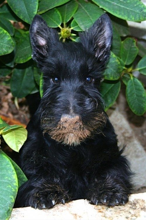 But they look cute with the evidence all over them. | Community Post: What Every Scottish Terrier Owner Knows: