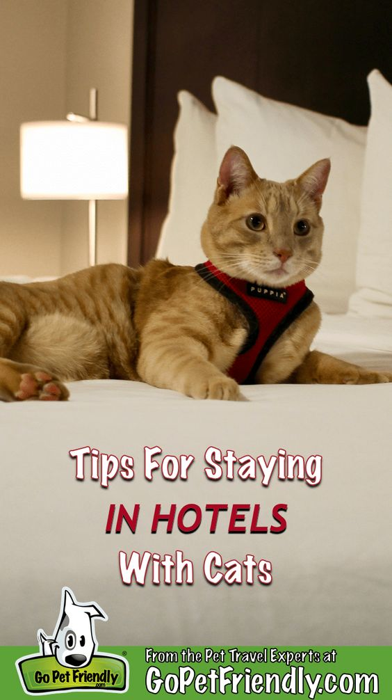 Tips For Staying In Hotels With Cats Gopetfriendly Com Cat Training Cat Friendly Hotels Cat Care