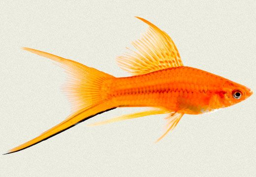 Swordtail Red Victory Lyretail