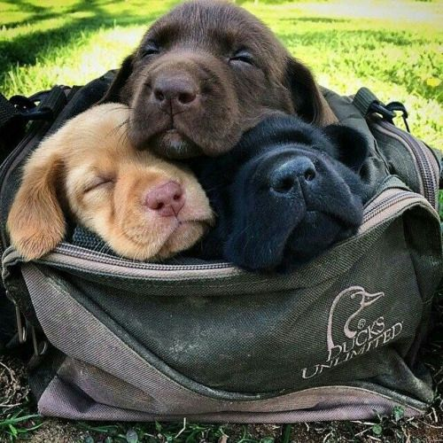 A Bag Full of Labrador Retriever Puppies One of each Colour - What a Lovely Present to receive!