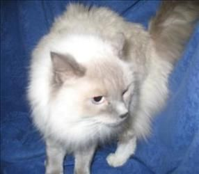 DAISY is an adoptable Ragdoll Cat in Detroit, MI. 1) I am pretty low-key; I'll play when you want and rest with you too 2) I love to be petted and touched. You can pet me anytime. I may even ask to be...