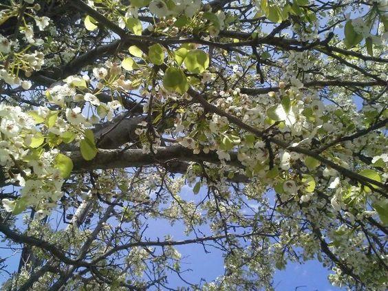 Tree w/wht blooms