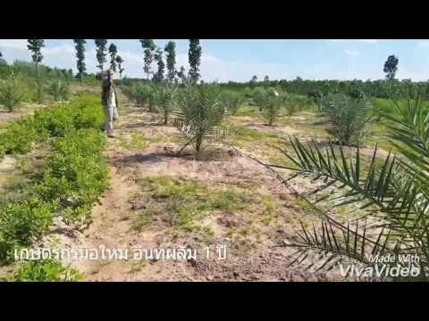 อินทผลัมผลสด ดร.ธัทธรรม พิลาแดง เกษตรรักษ์ดินอินทผลัม หนองบัวลำภู