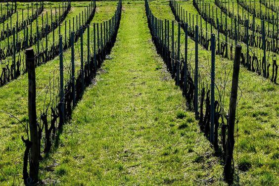 """La Lombardia non è solo pianura, risaie e frumento. Basta alzare lo sguardo e le colline morbide e armoniose promettono da sempre molto altro, sono promesse di zone viticole suggestive e in questo """"campo regionale"""" il grappolo del territorio d'Oltrepò Pavese afferma la sua leadership. ... Qui si produce una vasta gamma di vini di alta qualità e di sicura origine. In attesa del pianto della vigna che ci dirà adesso è primavera ! ... La foto della cover è di #MDidier ma c'è spazio per tutti bast"""