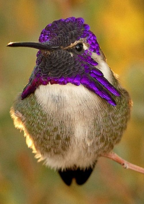 MALE COSTAS HUMMINGBIRD ~ such a pretty little bird. (thanks to some PIINTEREST friends for getting me the info!)