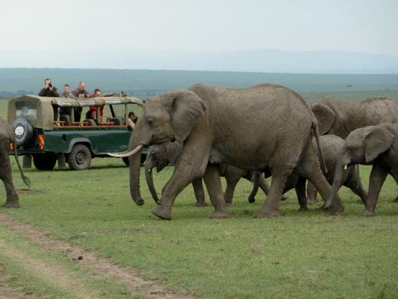 Nothing quite like the emotions that course through the body when a huge matriarchal herd of elephant stroll by on the plains of the Masai Mara Reserve in Kenya! That's our group in the background, on a family safari last August.