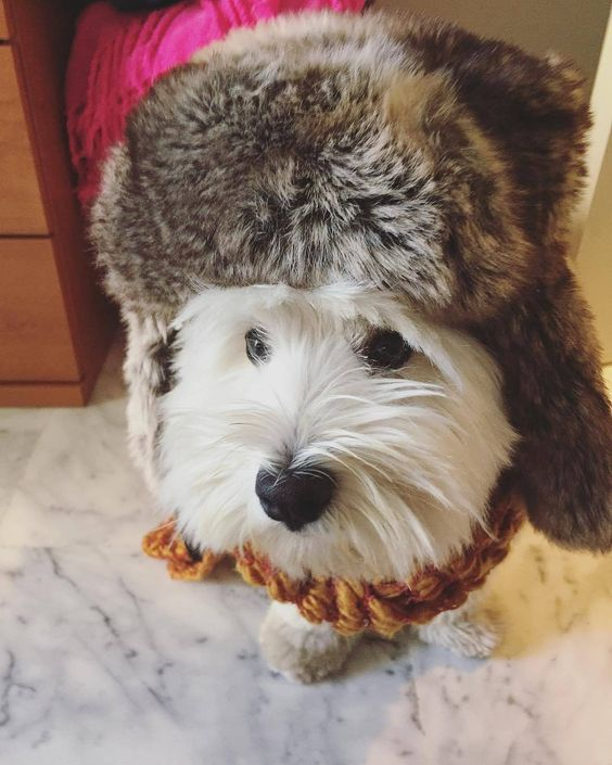 Christmas countdownCheck out our store for the best Westie tees, mugs, leggings and gift ideas Tap link in our bio @westiemoments . credit: @mylovelywestie . For feature follow us + tag #westiemoments .