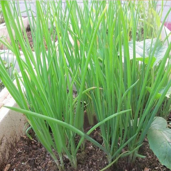 2000PCS Spring Onion Seeds Four Season Vegetable