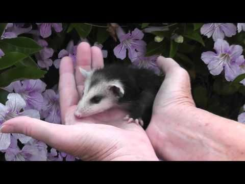 A Beautiful Rescued Opossum (Possum)... Free video clip at http://FreeAnimalVideo.org