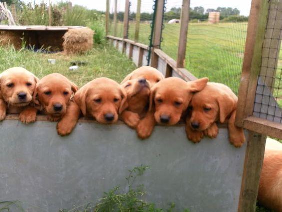 red fox lab puppies. I'll take them all!