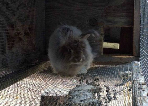 My German Angora Sire, Marley