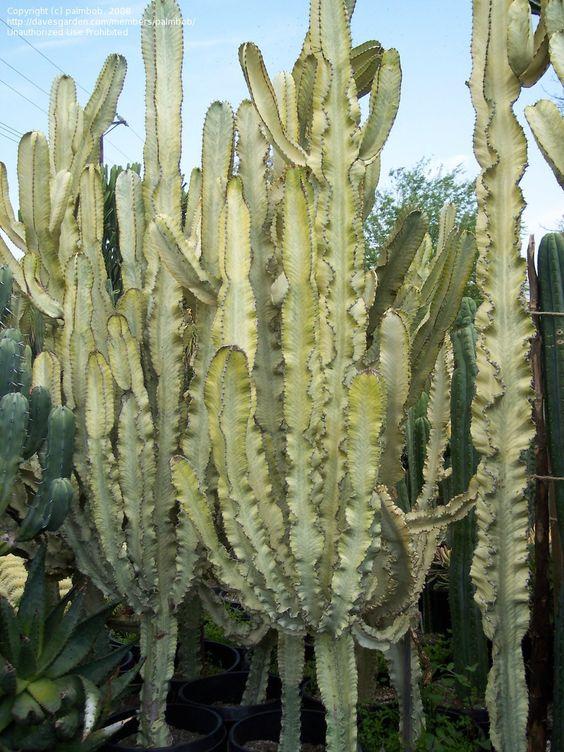 Variegated African Candelabra (Euphorbia ammak var. variegata)