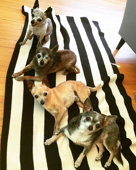 4 Elderly Chihuahua Dogs - A Geriatric Ghihuahua interpretation of Abbey Road