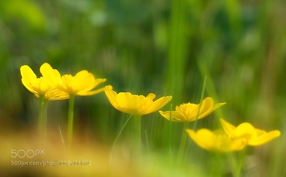 Sumpfdotterblumen im Licht by ClausJanker #nature #photooftheday #amazing #picoftheday
