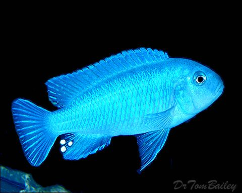 How do African cichlids get from the lakes in Africa to our aquariums in the United States?